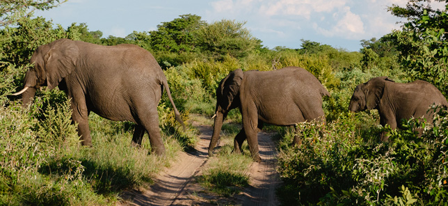 Elephant travel through a nature reserve in Bela-Bela, which can be visited when you book hotel or other accommodation with Flight Centre,