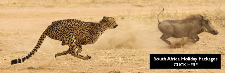 A cheetah chases a warthog in South Africa, which can be visited with a cheap holiday package from Flight Centre.