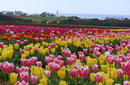 A Field of Tulips, Tasmania