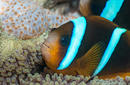 Clown Fish, Falla Reef