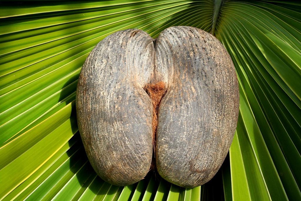 305_IMG7 Female Coco De Mer Nut_4252x2835